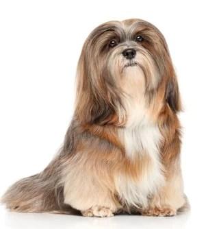 Lhasa Apso Ancient Dog Breeds