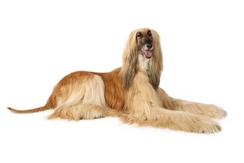 Afghan Hound Ancient Dog Breeds