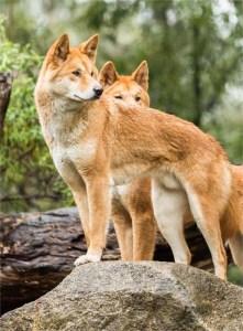 Australian Dingo dog