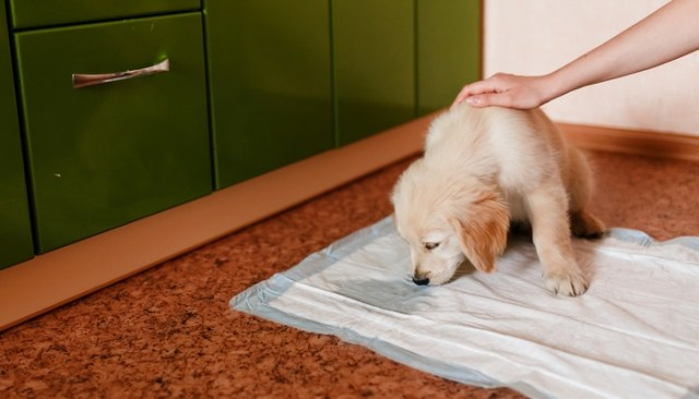 How To Housebreak A Puppy at Home