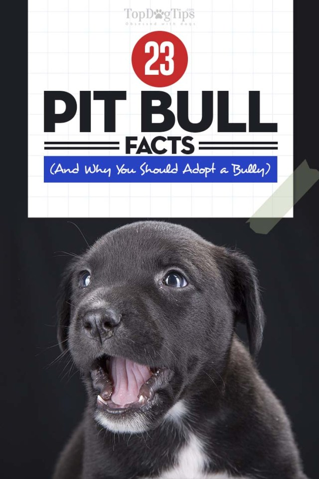 Pit Bull Facts and Why You Should Adopt a Pit Bully