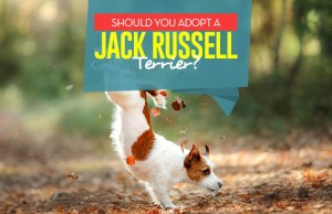 Reasons to Adopt a Jack Russell Terrier