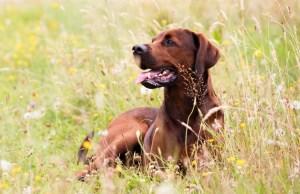 Redbone Coonhound Dog Breed Information