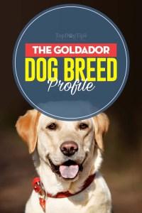 The Goldador Dog Breed Profile