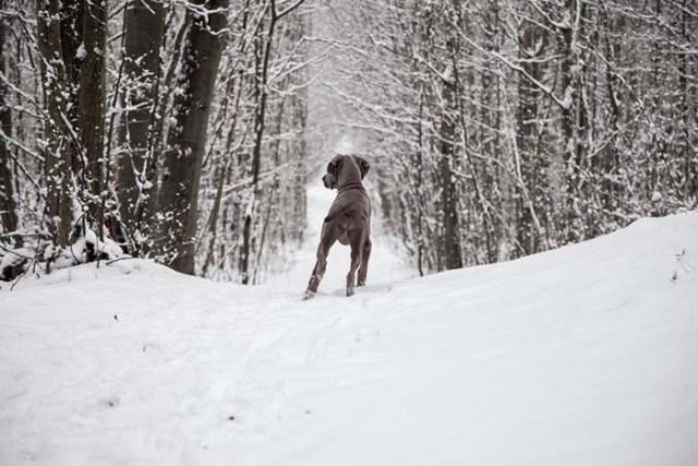 Walking Dogs In Winter