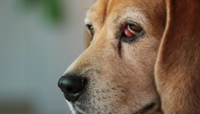 Cherry Eye in dogs