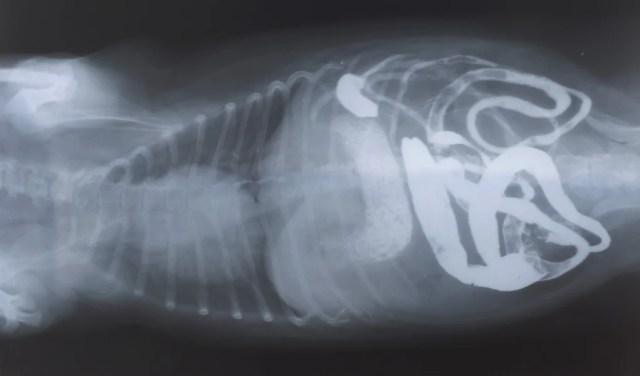 Dog Digestive System