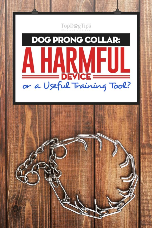 Dog Prong Collar - A Harmful Device or a Great Dog Training Tool