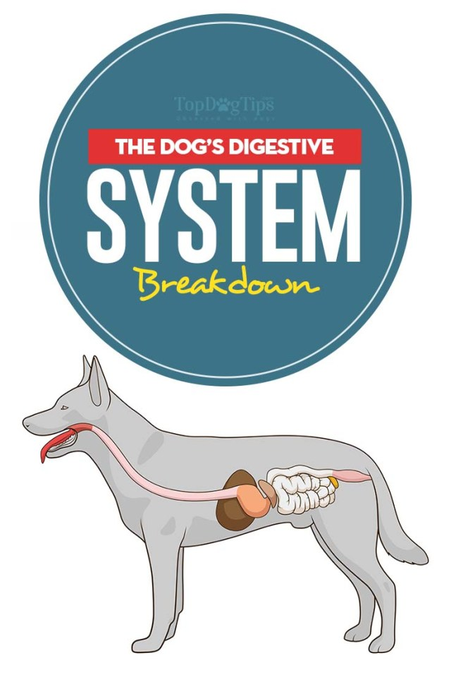 Dog's Digestive System Breakdown (and what dogs can and cannot digest)