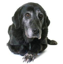 How To Keep Senior Dogs Healthy