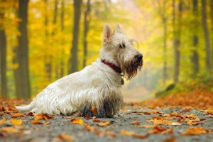 Scottish terrier hunting dog