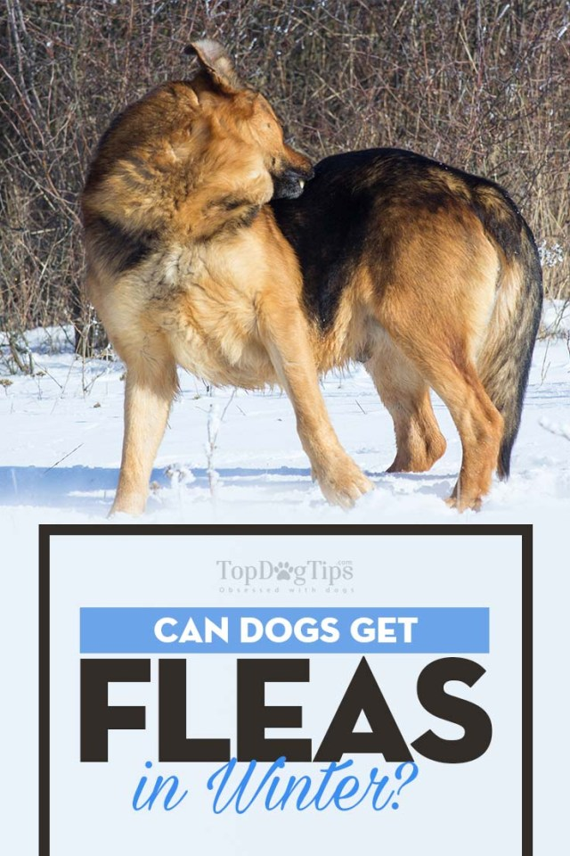 Why Can Dogs Get Fleas In the Winter