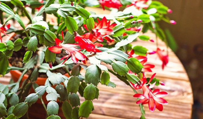 are christmas cactus poisonous to dogs here s what you must know - Are Christmas Cactus Poisonous To Dogs