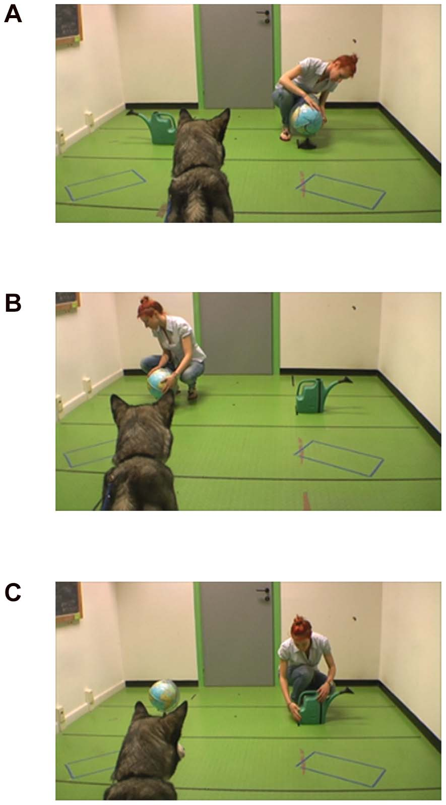Domestic dog study process