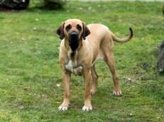 World's Largest Dog Breeds