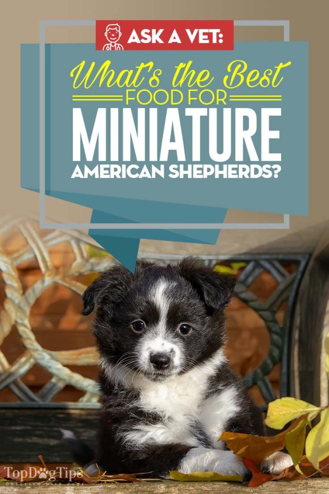 The Best Dog Food for Miniature American Shepherd - Top 10 Vet Recommended Brands