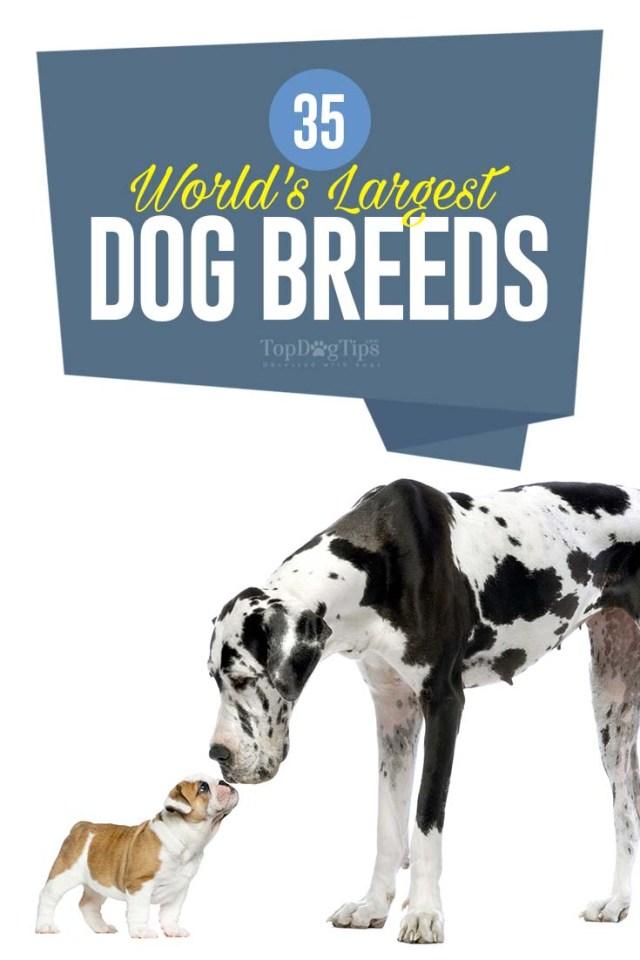 The World's Largest Dog Breeds