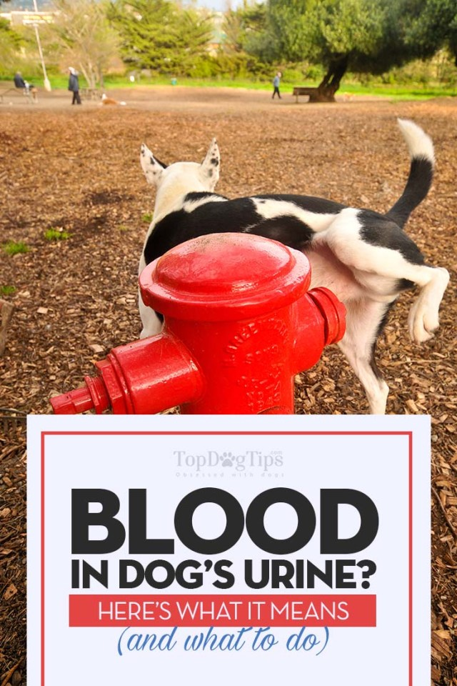 What Is Blood in Dog Urine