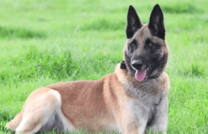 Dog Who Saved Soldiers' Lives from the Taliban Gets Military's Highest Award