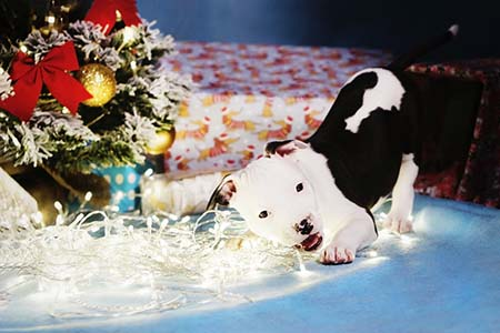 Pit bull puppy chewing on Christmas lights next to the Christmas tree.