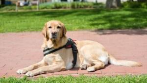 Obtaining a Service Dog Through a Service Dog Program