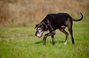 8 Signs Your Dog Is Experiencing Joint Pain