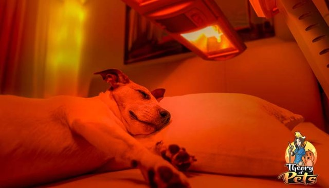 What Is Low Level Light Therapy for Dogs LLLT