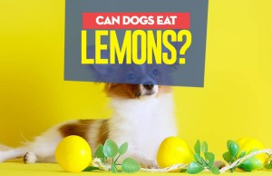 Can dogs have lemon