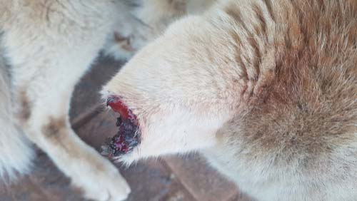 Ear Injuries in Dogs