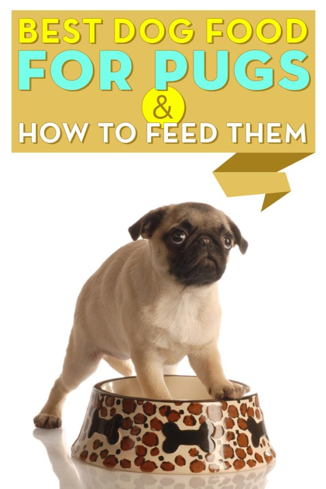 Top Rated Best Dog Food for Pugs and How to Feed