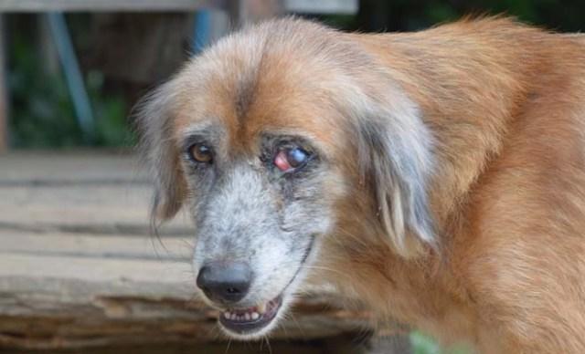 Dog with an eye injury