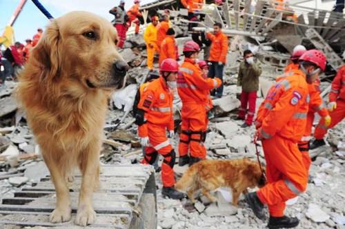 Labrador Retriever as Search and Rescue Dog