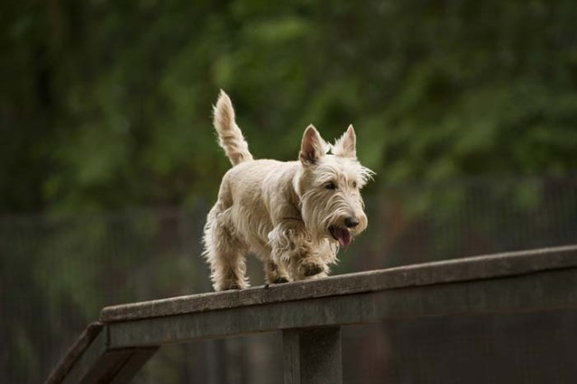 1. Scottish Terrier