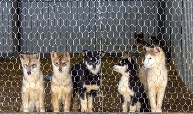 9 Ways to Deal With Canine Kennel Cough in Dogs