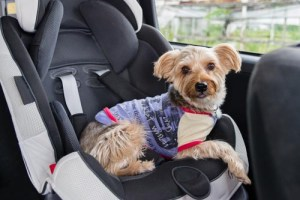 A dog in a child car safety seat