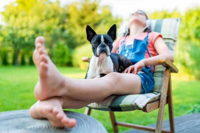 Boston Terrier lap