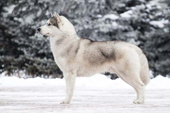 Dog and Wolf Cross-Breeding Has Forever Changed Gene Pool of Wolves