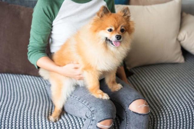 Pomeranian lap