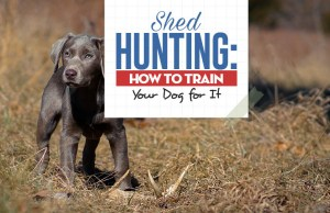 Shed Hunting Dog Training Guide