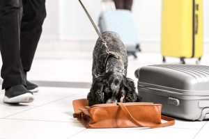 Sniffer dog looking for drugs in airport