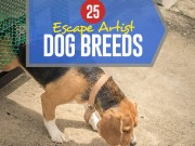 Top 25 Escape Artist Dog Breeds