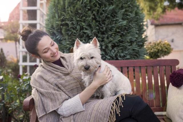 West Highland White Terrier lap