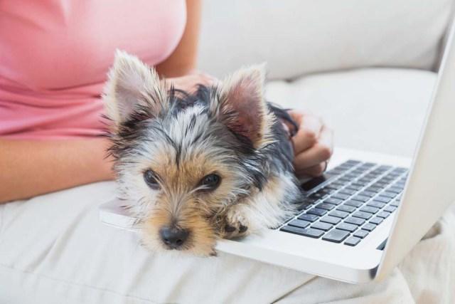 Yorkshire Terrier lap