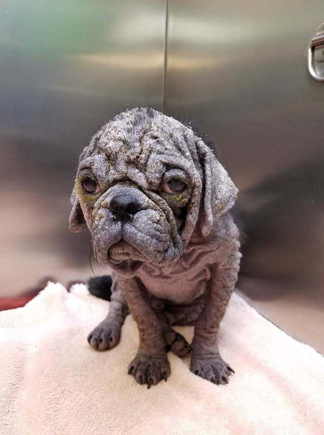 Abandoned Hairless Pug Gets Another Chance After A Dramatic Transformation
