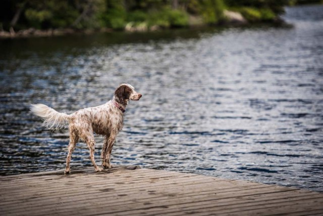 English Setter is about to go swimming