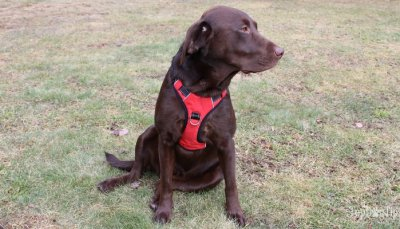 The front-clip dog harness type.