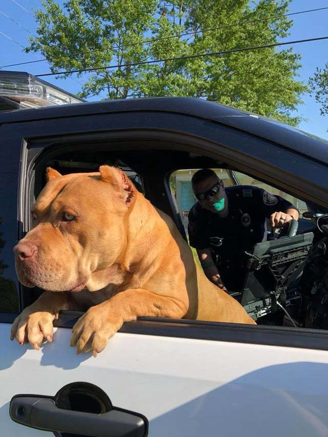 Pit bull is ready to go do police work