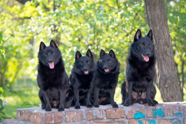 Schipperke are some of the best swimming dog breeds