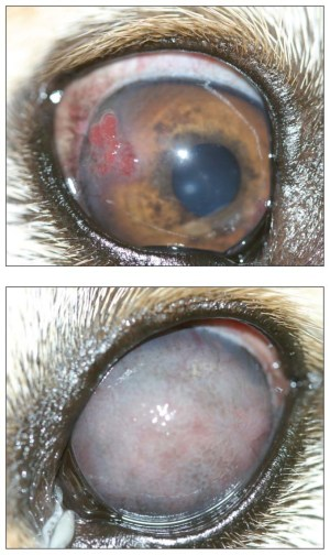 Photo of a dog's eye with keratitis