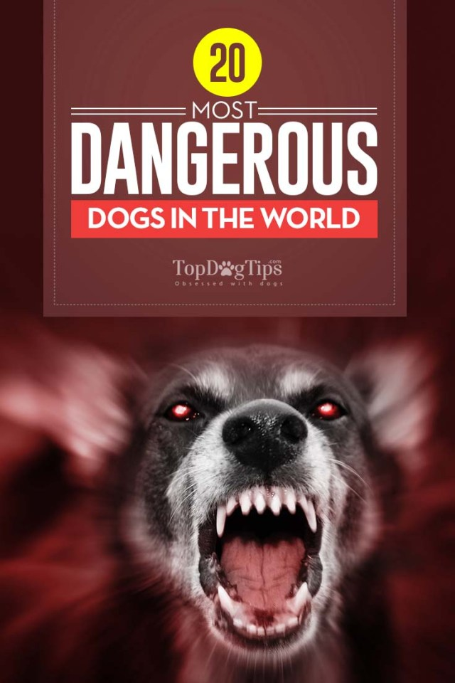 Top 20 Most Dangerous Dogs in the World Known for Aggression